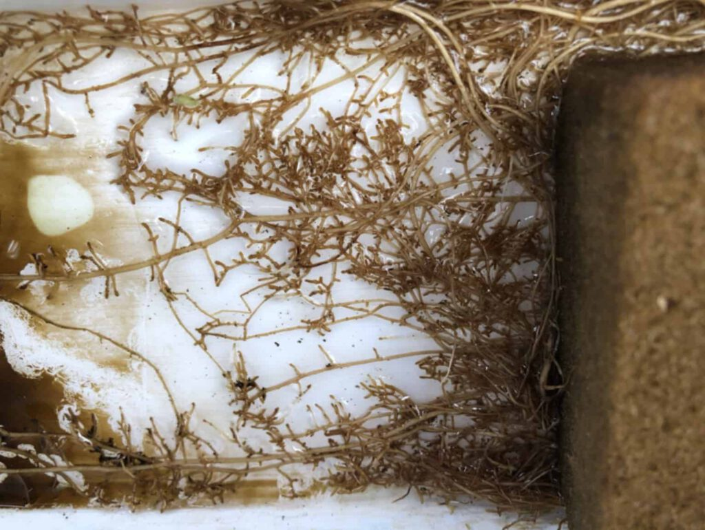 O2Grow Crown Pea Low Dissolved Oxygen Roots Results
