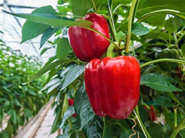 Indoor Greenhouse Bell Pepper Research Test Results