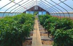 University Test Tomato High Tunnel O2Grow