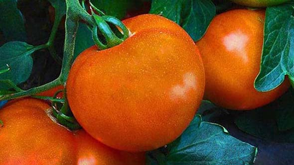 Large Tomatoes